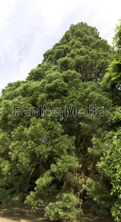 alte mammutbaeumemammutbaum in uckfield grossbritannien