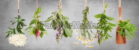 frische pflanzen fuer tee