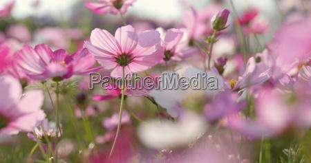 cosmos flower garden