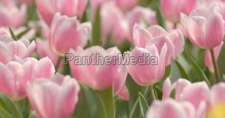pink tulip flower park