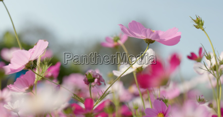 pink and white cosmo flower garden
