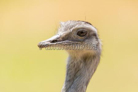 kopf des grossen rhea rhea americana