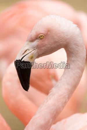 kopf und hals des chilenischen flamingos