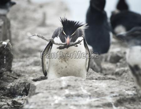rockhopper penguin carrying sticks to his