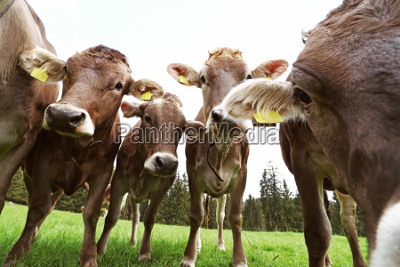 curious young brown cattle in the
