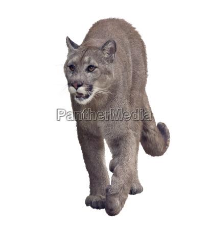 florida panther oder cougar malerei