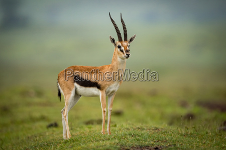 thomson gazelle stands head turned on