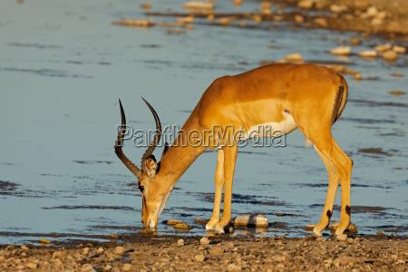 impala antelope at a waterhole