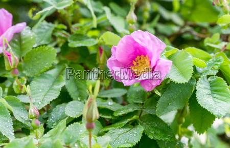 pink blooming dog rose