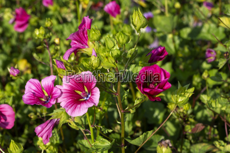 malope trifida flowers in the garden