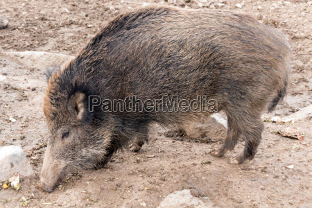 wild boar in deer park
