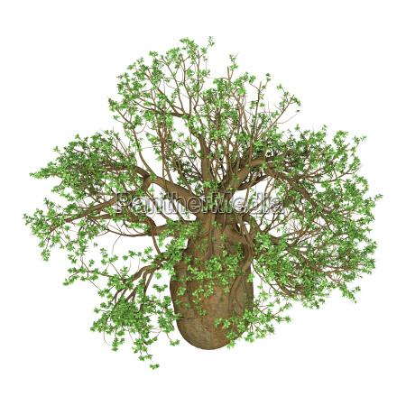 3d rendering baobab tree on white