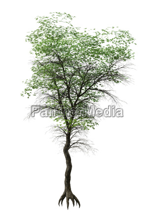 3d rendering japanese maple tree on