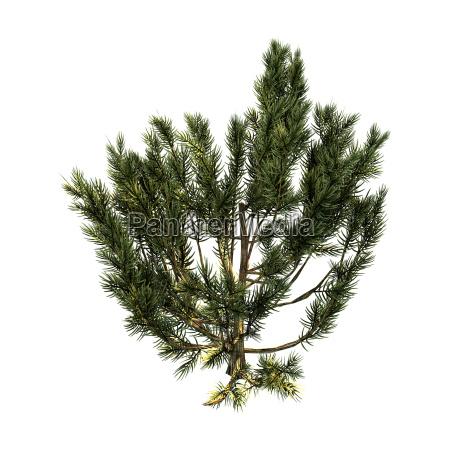 3d rendering green mulga tree on