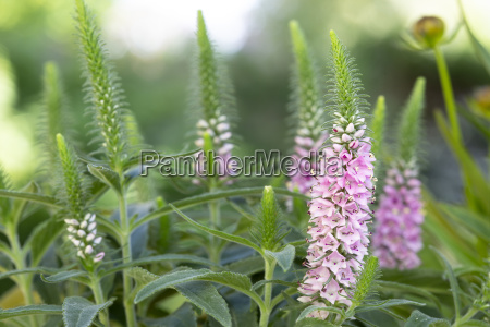 pink flowering spiked speedwell veronica spicata