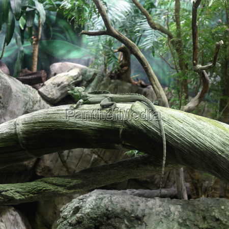 tier reptil eidechse chamaeleon rasen gruenflaeche