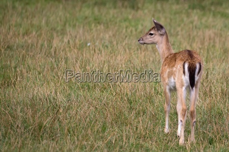 young fallow deer in a clearing
