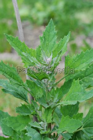 ueppige quinoa pflanze unterstuetzt von einem