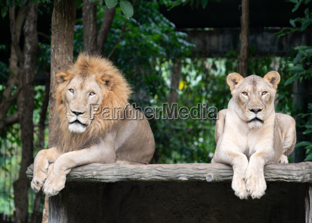male and female lion laying together