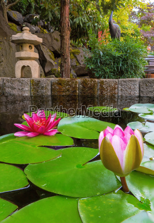 water lily blooming in backyard pond