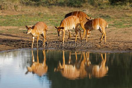 nyala antelopes drinking water