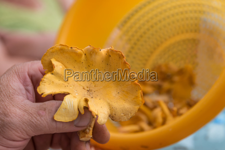 hand with freshly harvested chanterelle