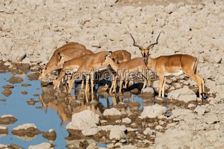 impala antelopes at a waterhole