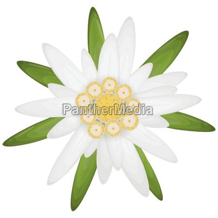 edelweiss blumensymbol