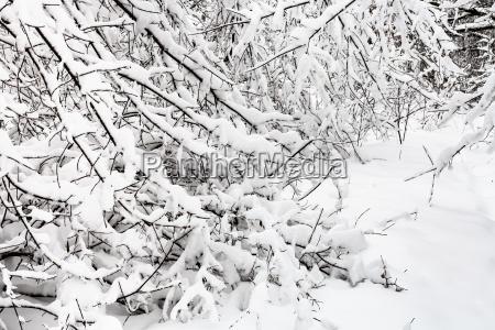 schneebedeckte buesche am bewoelkten wintertag