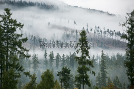 forest in the mist as a