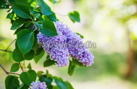 fruehling lila blumen