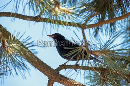 baum vogel wildlife amsel nordseeinsel natur