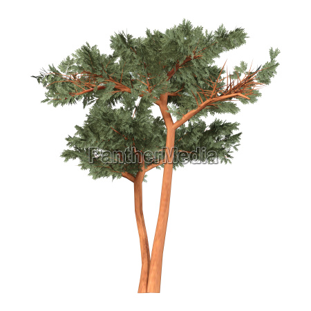 3d rendering acacia tree on white