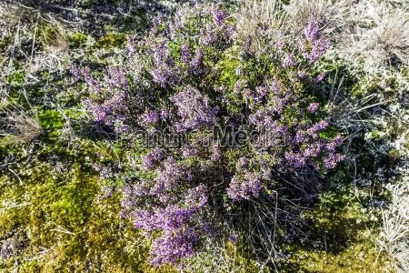 calluna vulgaris ist bekannt als volksheide