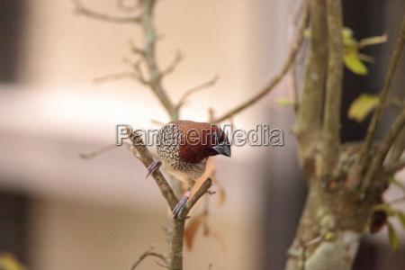 gewuerzfinkenvogel lonchura punctulata