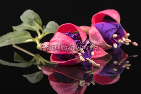 zwei knospen fuchsienblueten isoliert auf schwarzem