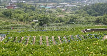 hydrangea flower field in mountain