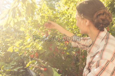 woman in her garden harvesting red
