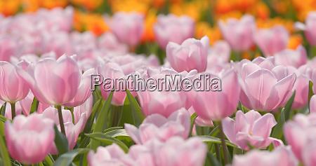 pink tulip flower field