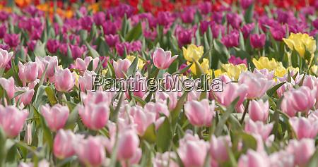 colorful tulip flower garden