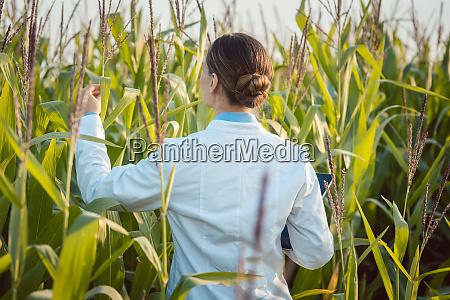 wissenschaftler in maisfeld testen eine neue