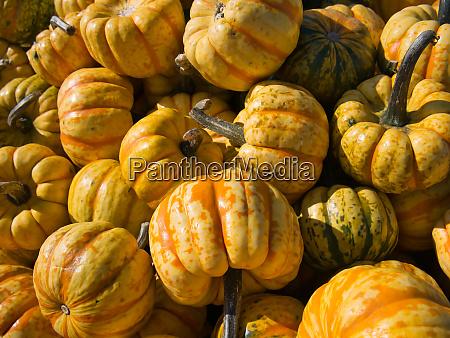 kuerbisse in paprikaform in gelb orange