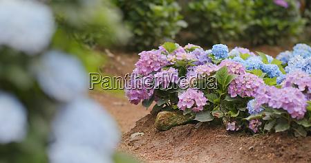 pink hydrangea flower field