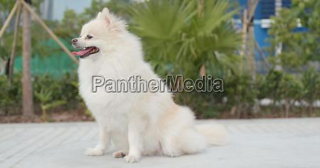 netter pomeranian hund der park am