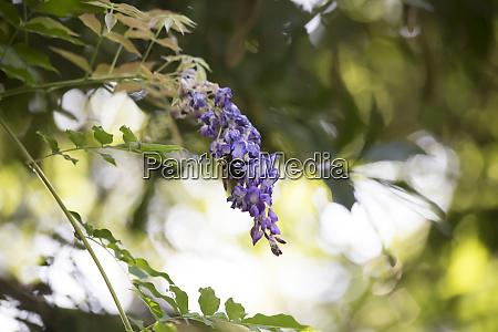 zimmerer bee hovering um eine purple