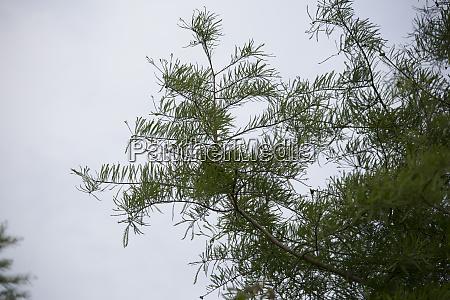 zypressenbaum im fall