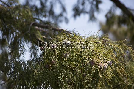 zypressenbaum im herbst
