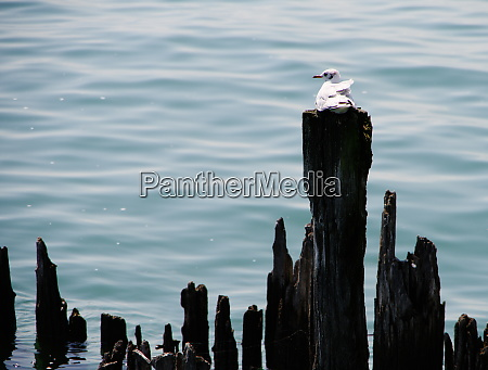 single seagull sitting on weathered wooden