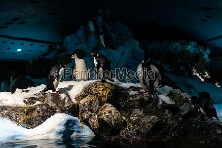 eine gruppe von kaiserpinguinen aptenodytes forsteri