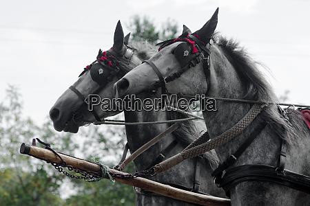 zwei graue kutschenpferde